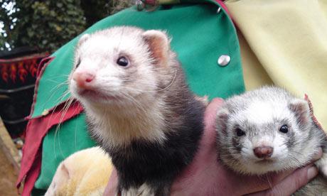 facebook ferrets