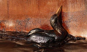 An oil soaked bird struggles at the site of the Deepwater Horizon oil spill in the Gulf of Mexico