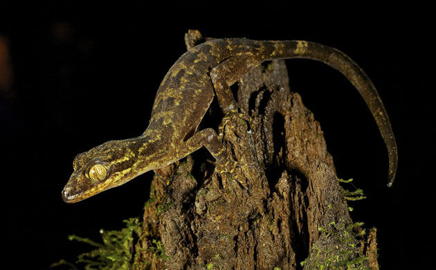 New species: Foja Mountains, Indonesian island of New Guinea