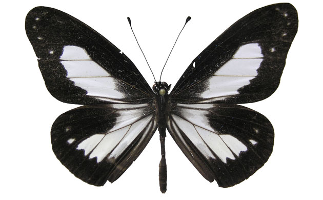 New species: Butterfly, Foja Mountains, Indonesian island of New Guinea