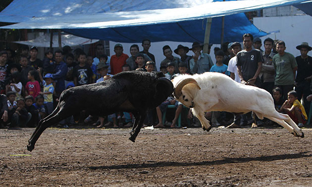24 hours in pictures: Bandung, Indonesia: Rams fight during a Sundanese cultural event