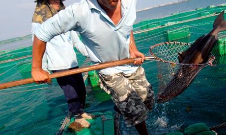Fishermen catch a cobia at a fish farm o