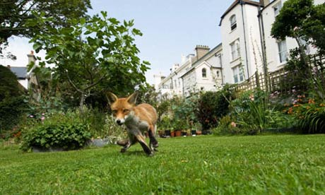 Don't demonise the fox, warns charity | World news | guardian.