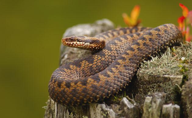 snakes in decline: EKF00570