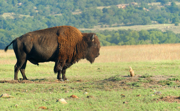 Bison Oklahoma In pictures The week in