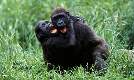 Gotcha! Two young gorillas playing.