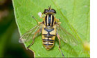 Alys Fowler: Hoverfly
