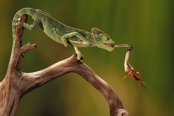 High speed wildlife : A veiled chameleon extends its high-speed tongue to catch a cricket