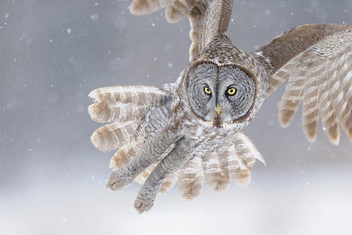 Great Grey Owl Flying Wildlife frozen in tim...