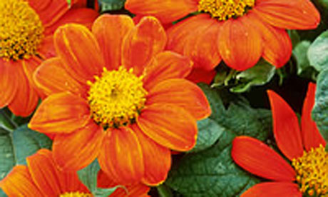 Alys Fowler: Mexican sunflower