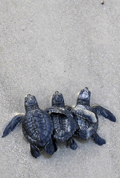 24 hours in pictures: Kemp's ridley turtles being released into the Gulf of Mexico