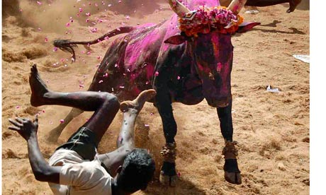Jallikattu, a bull-taming sport in the south Indian state of Tamil Nadu