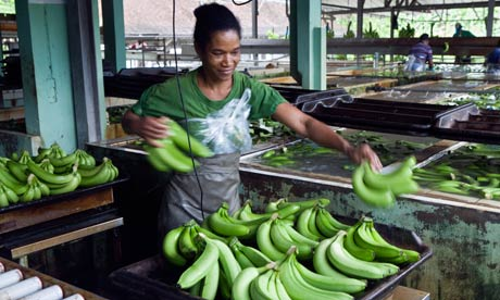 Sorting bananas in Martinique