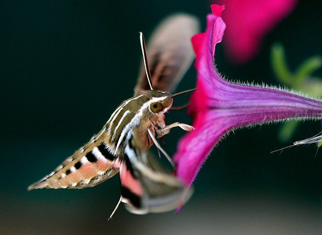 24 hours: A hummingbird hawk-moth hovers as it feeds on flowers