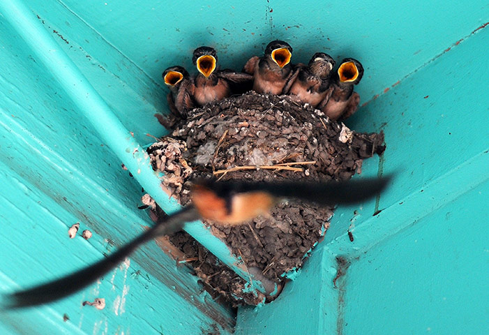24 hours pictures: Baby birds wait to be fed by their mother in their nest outside a house