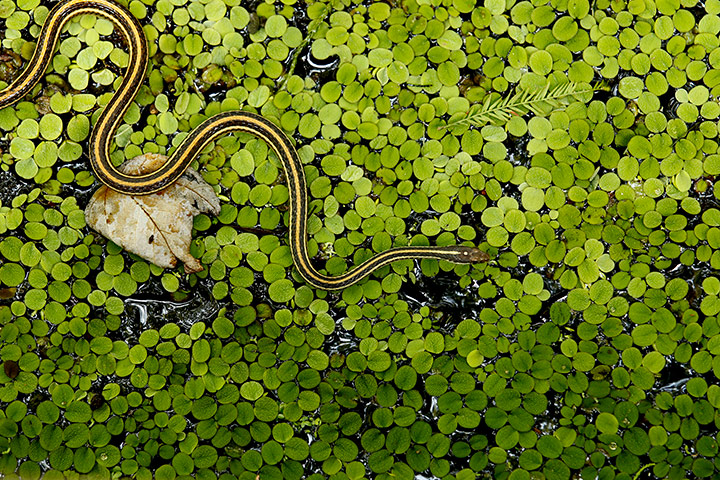 24 hours pictures: A ribbon snake is seen on salvinia in a cypress swamp