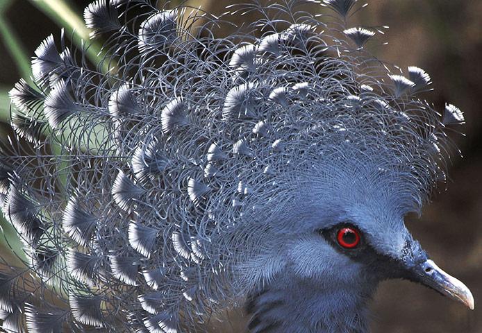 日本横滨动物园的维多利亚凤冠鸠.