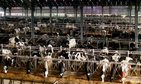 dairy farm. Photograph: Graeme Robertson for the Guardian