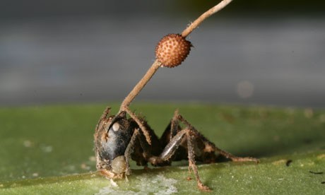 http://static.guim.co.uk/sys-images/Guardian/Pix/pictures/2010/8/17/1282044417594/carpenter-ant-and-fungus-006.jpg