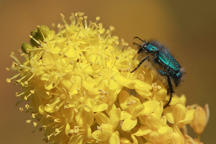A blue monkey beetle crawls across a yellow bulbinella flower