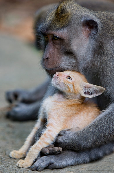 A long tailed macaque mon 002 This monkey has adopted a stray kitten as its own