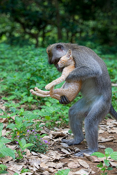 A long tailed macaque mon 004 This monkey has adopted a stray kitten as its own