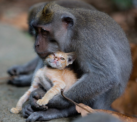 A long tailed macaque mon 005 This monkey has adopted a stray kitten as its own