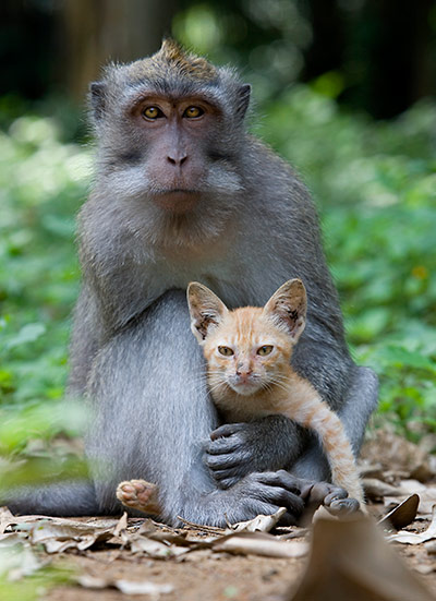 A long tailed macaque mon 006 This monkey has adopted a stray kitten as its own