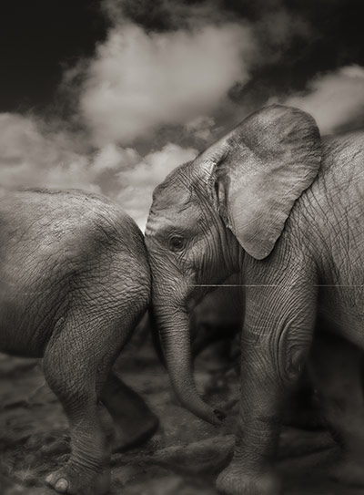 Orphaned elephants: David Sheldrick Wildlife Trust