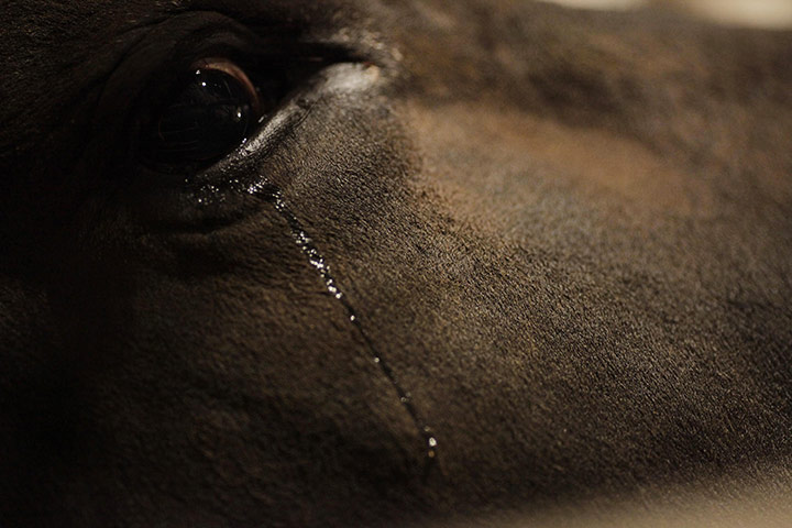 Tears form in the eyes of a bull