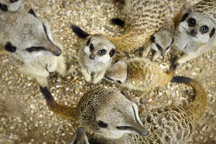 24 hours in pictures: Bristol Zoo Gardens meerkats