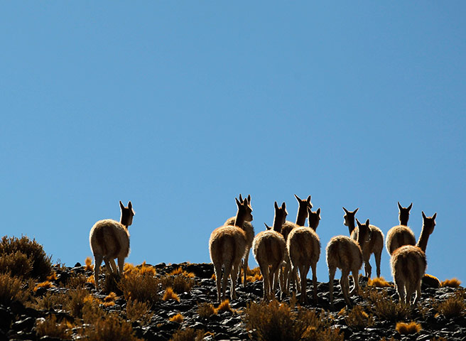 24 hours in pictures: A herd of vicunas graze near the Laguna Caro Argentina