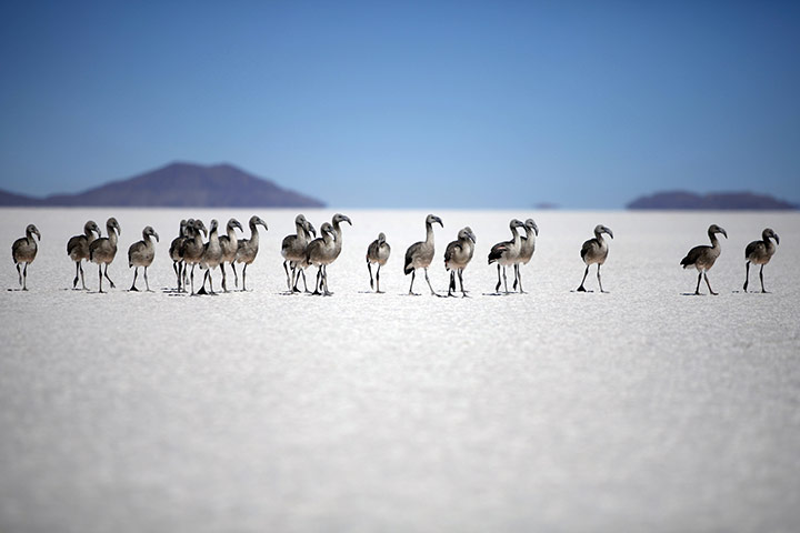 Week in wildlife: Baby Chilean Flamingos wander in the middle of the Uyuni salt desert