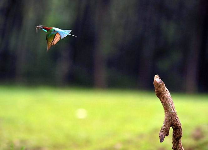Week in wildlife: Blue-throated bee-eaters in Hong'an County, Wuhan, China