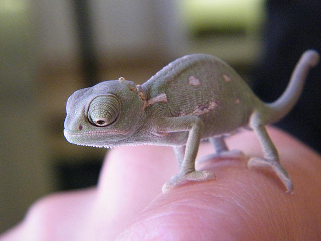 Week in wildlife: A baby Yemen chameleon bred for the first time at Cotswold Wildlife Park