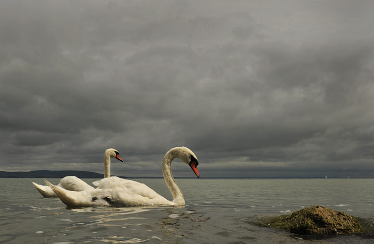 24 hours in pictures: Swans swim in the Lake Balaton