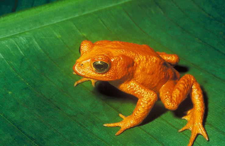 lost amphibians: a Incilius periglenes, Golden toad