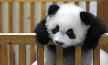 Baby Panda Born at Chengdu Giant Panda and Research Institute , China.