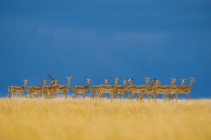 Serengeti National Park: Impalas Herd Alert to Danger