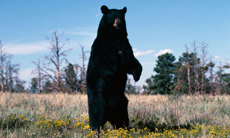 A black bear