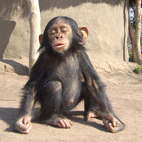 In pictures: Orphaned chimpanzees in the Democratic Republic of the ...