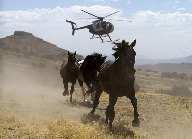 Bureau of Land Management to gather wild horses in the Conger Mountains