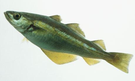 Pollack (Pollachius pollachius)