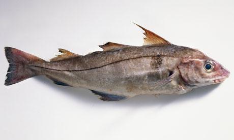 A Fresh haddock fish