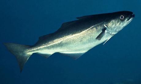 Coley fish (Pollachius virens)