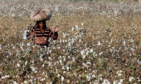 Cotton Crops in Pakistan Pakistan's Cotton Farmers Reap