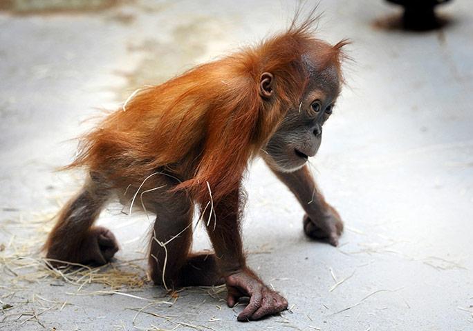 德勒斯登,德国:猩猩宝宝杜兰走过动物园的护栏 摄影: matthias