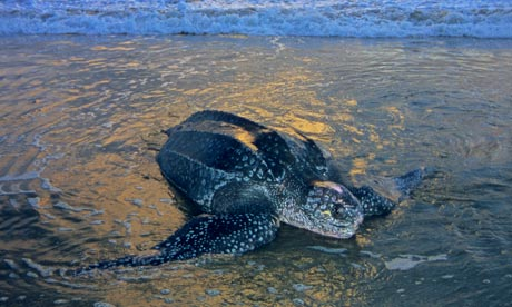 Adult female leatherback sea turtle