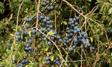 Ripe sloes on the bush