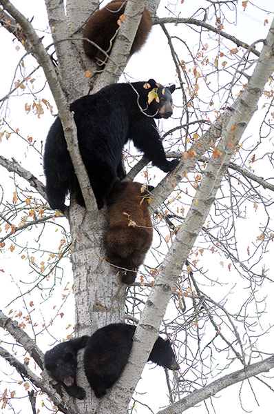 Week in wildlife: a mother bear and her four cubs